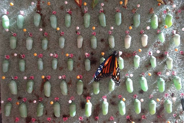 First Emerged Butterfly of 2015