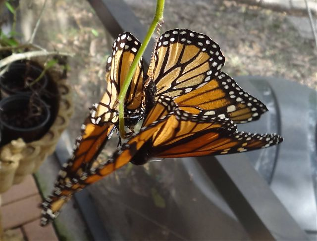 Monarchs Pairing