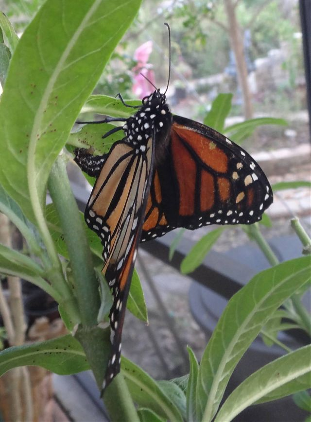 Monarch Laying