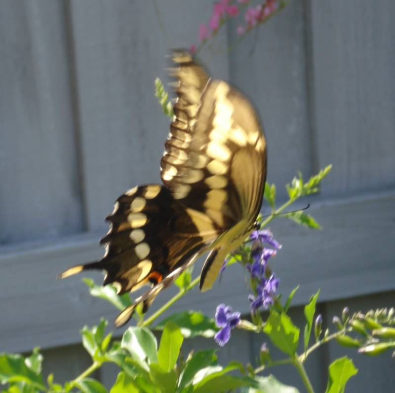 Giant Swallowtail Feeding