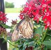 Gold Rim Swallowtail feeding