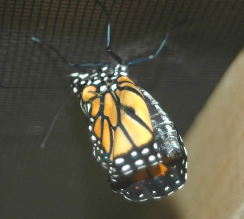 Just-emerged Monarch with her wings still folded