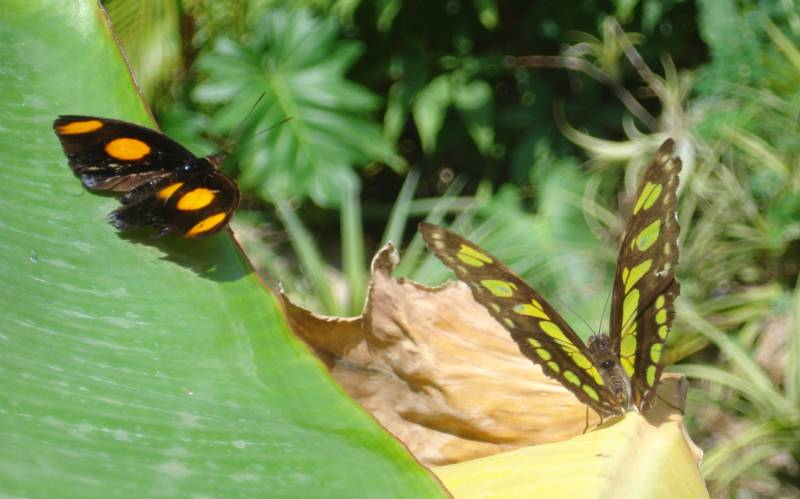 Butterflies cavorting at the Curacao Butterfly Garden