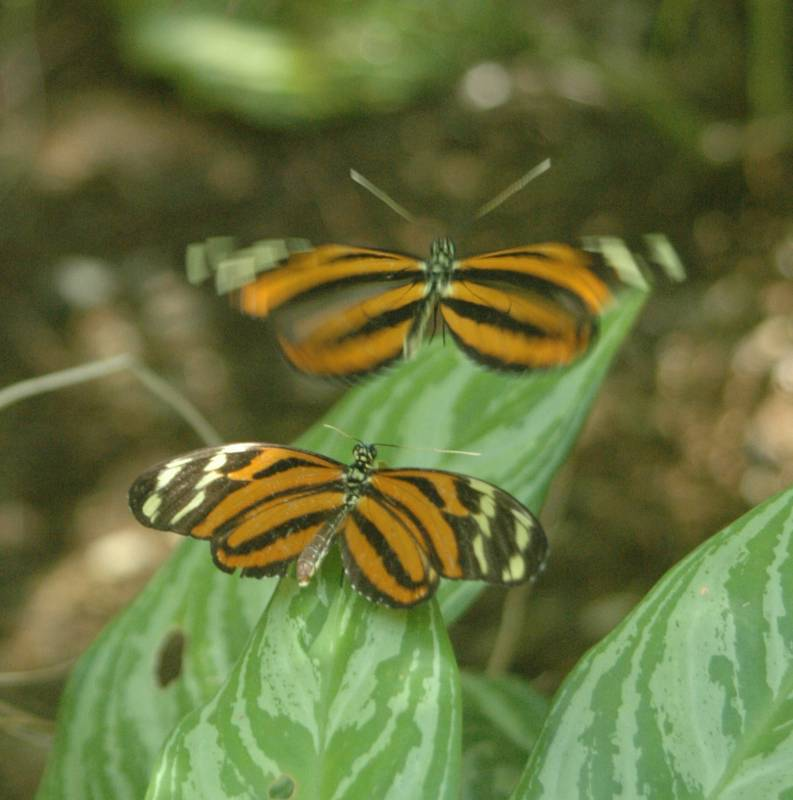 Butterflies about to mate at the Curacao Butteerfly Garden