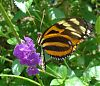 Butterfly at the Curacao Butterfly Garden