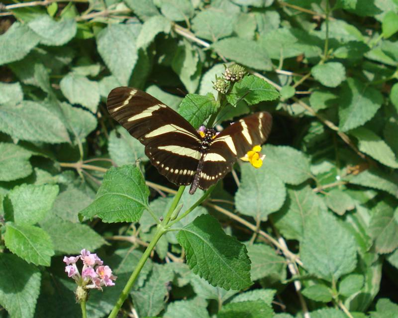 Zebra Longwing at the Curacao Butterfly Garden