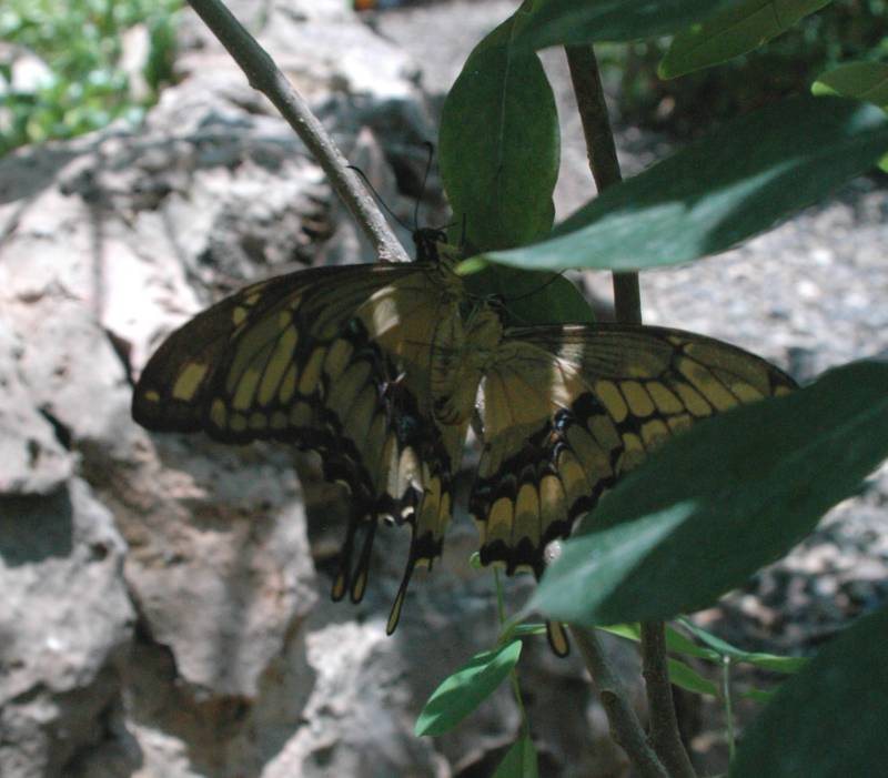 Giant Swallowtails mating