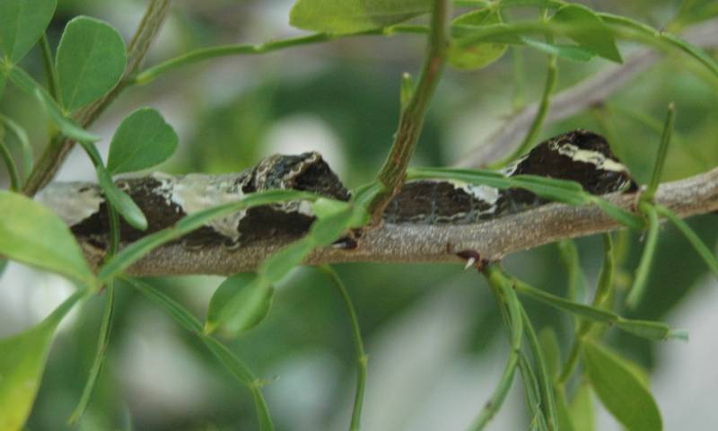 Two Giant Swallowtail Caterpillars