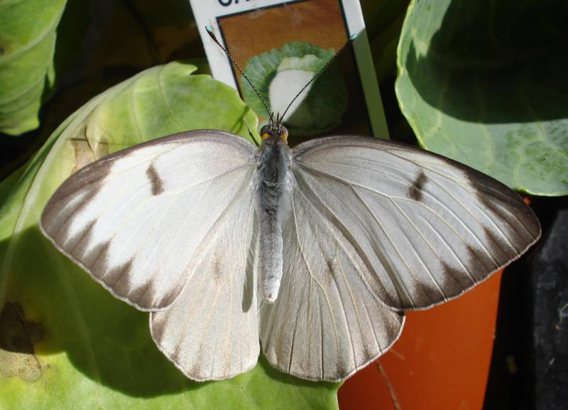 Overwings of a Great Southern White