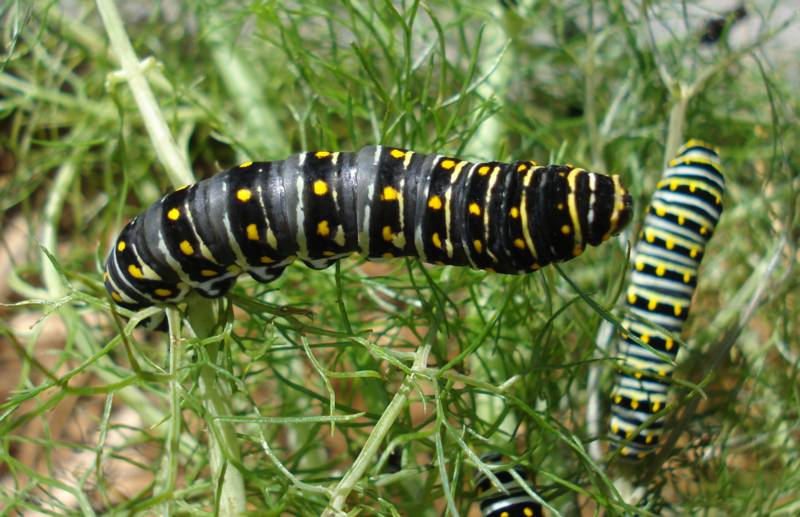 Dark Black Swallowtail Caterpillar
