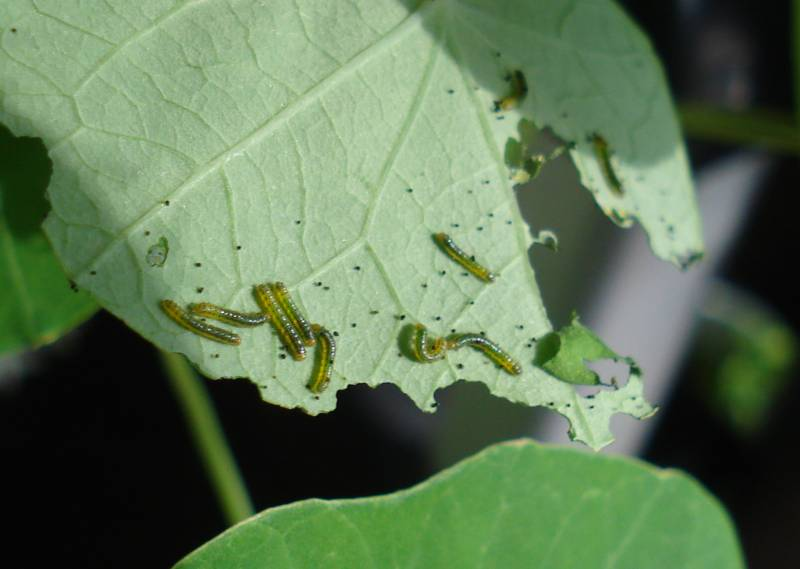 Newly Hatched Great Southern White Caterpillars
