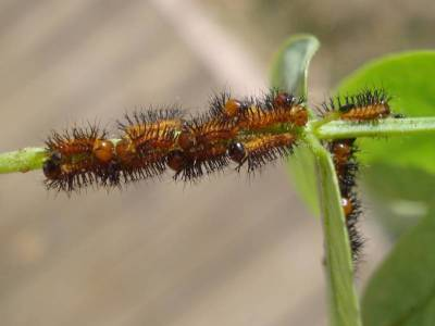 First Instar Caterpillars