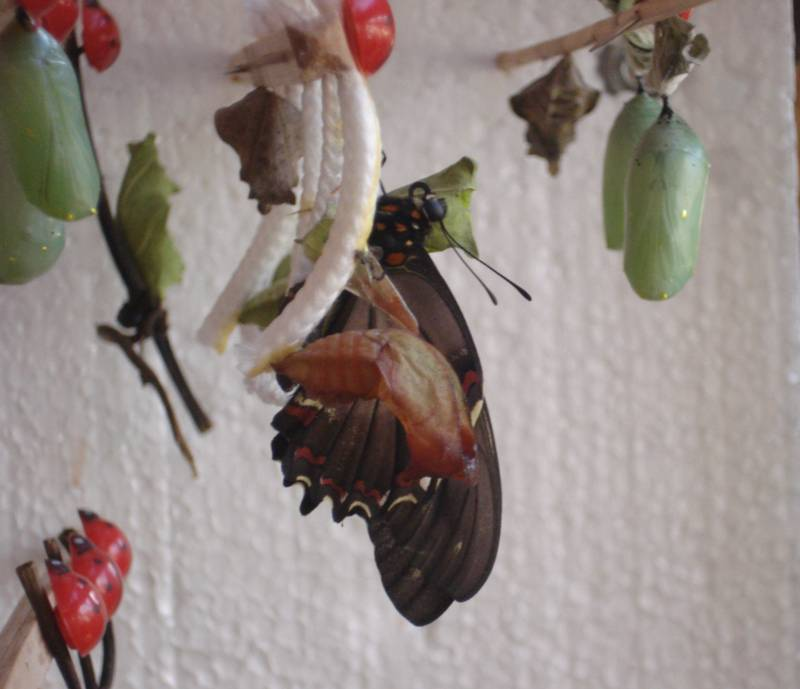 Gold Rim and Empty Chrysalis