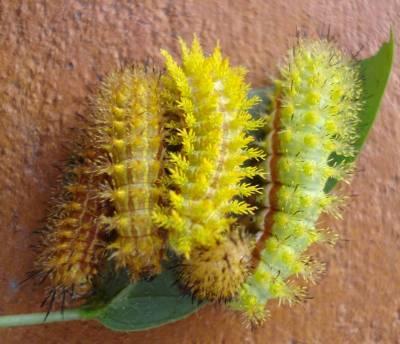 Four Caterpillars