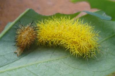 Caterpillar Just Molted