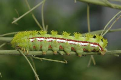 Caterpillar Stripes