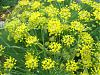 Fennel Flowers, host for the Black Swallowtail