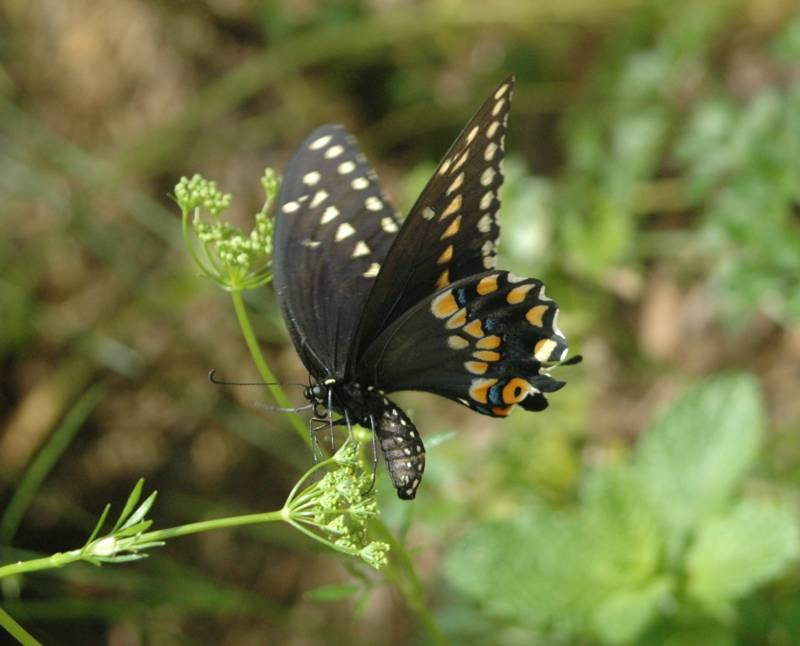 Black Swallowtail Laying