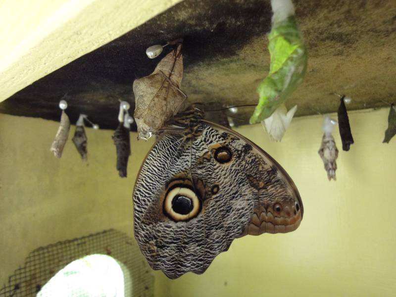 Just Emerged Owl Butterfly