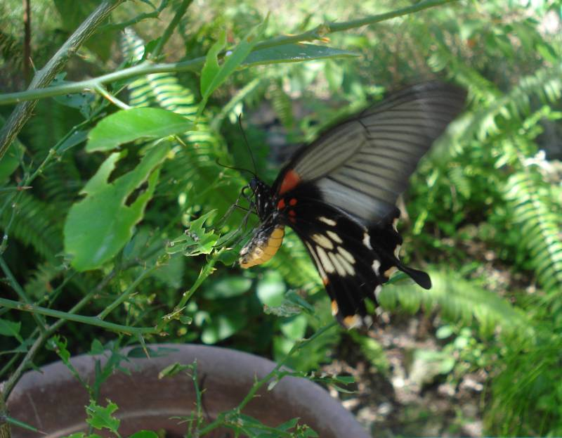 Scarlet Swallowtail Laying Egg (Judi)