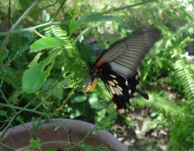 Scarlet Swallowtail Laying