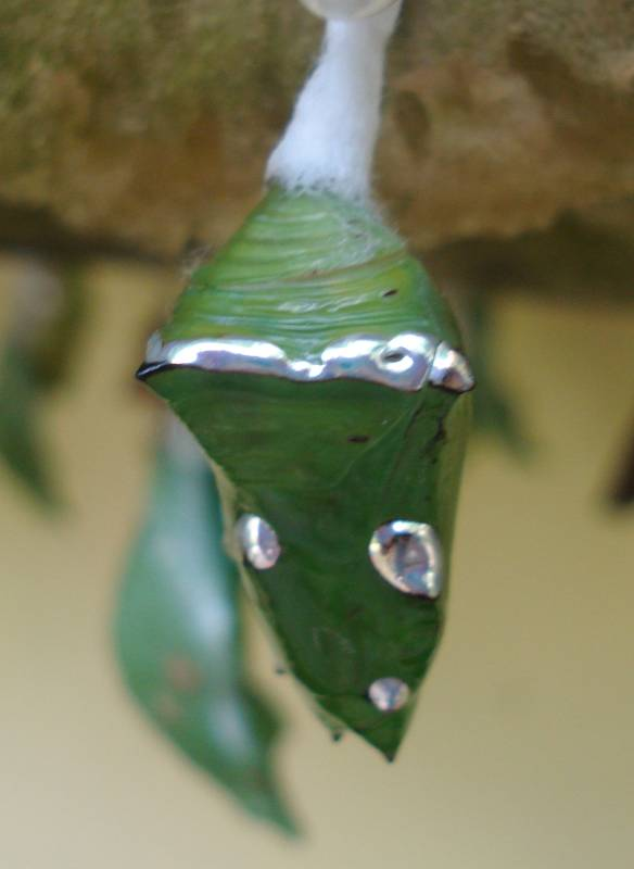 Molten Silver Accents of a Dophla Evlina Leafwing Chrysalis (Judi)