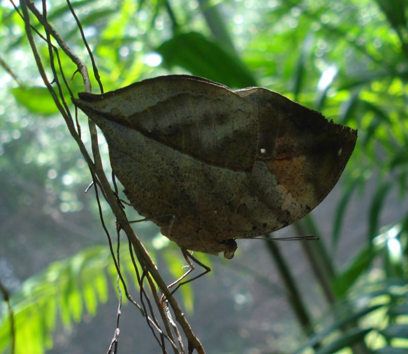 Amazing Camoflage of the Indian Leaf Wing Underwings (Judi)