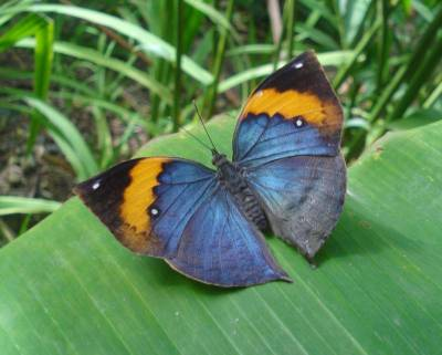 Indian Leafwing Overwings