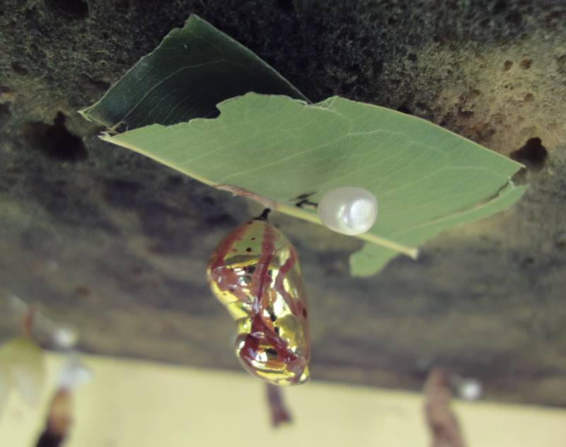 Indian Black Crow Chrysalis -- Yes, it is gold and red!