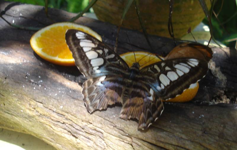 Butterfly With Torn Wings (Judi)