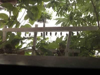 Ten Monarch Chrysalises hanging in Butterfly House