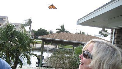 Monarch in Flight!