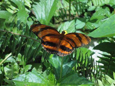 banded orange - Uf Butterfly Garden