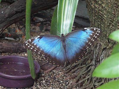 blue morpho - Uf Butterfly Garden