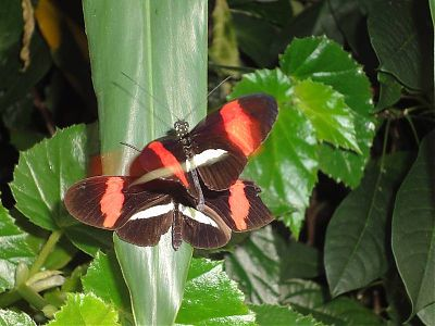 Two Postman Butterflies