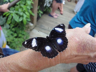 Great Eggfly on Lynn's Hand