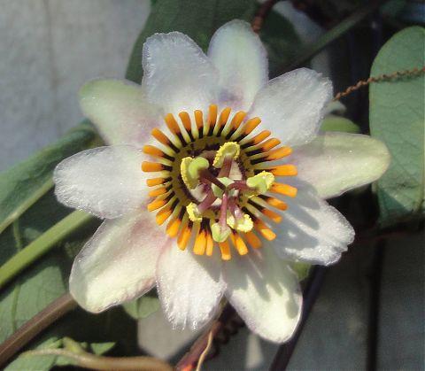 Passion Vine P. Vespertilio Flower
