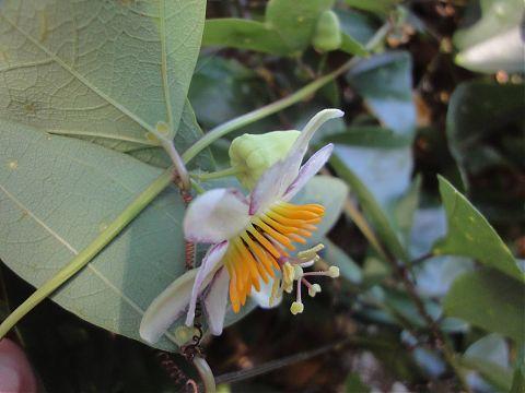 Side View of Passion Vine P. Vespertilio Flower