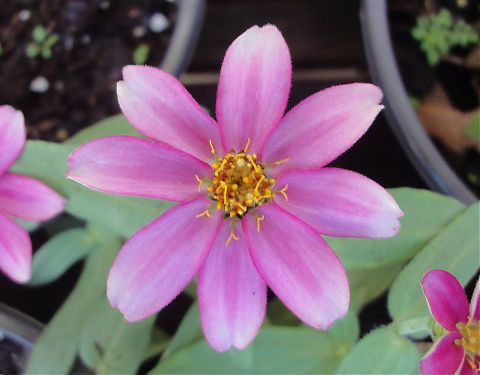 Delicate Pink Zinnia